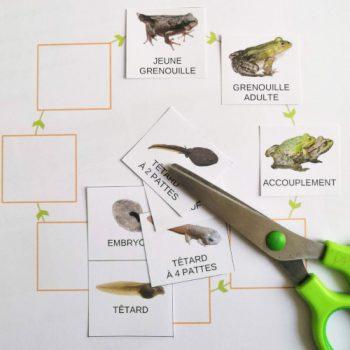 Le cycle de vie de la grenouille